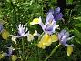 Iris  2008 2008-06-20 Bild 031