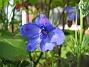 Riddarsporre  2008 2008-06-20 Bild 051