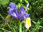 Iris  2008 2008-06-20 Bild 055