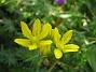 Allium  (Guldlök)  2008 2008-06-20 Bild 057