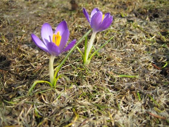 Krokus Denna lilla Krokus hade hamnat mitt i gräsmattan. Jag måste ha tappat några lökar förra året.&nbsp Favs 2006-04-02 Bild- 004 Granudden Färjestaden Öland