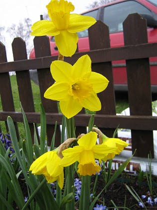 Påskliljor &nbsp Favs 2006-04-30 Bild 023 Granudden Färjestaden Öland