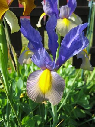 Iris &nbsp Favs 2006-06-18 Bild 009 Granudden Färjestaden Öland