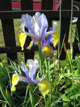 Iris &nbsp Favs 2006-07-18 Bild 002 Granudden Färjestaden Öland