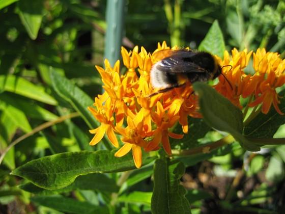 Orange Sidenört &nbsp Favs 2006-08-05 Bild 006 Granudden Färjestaden Öland