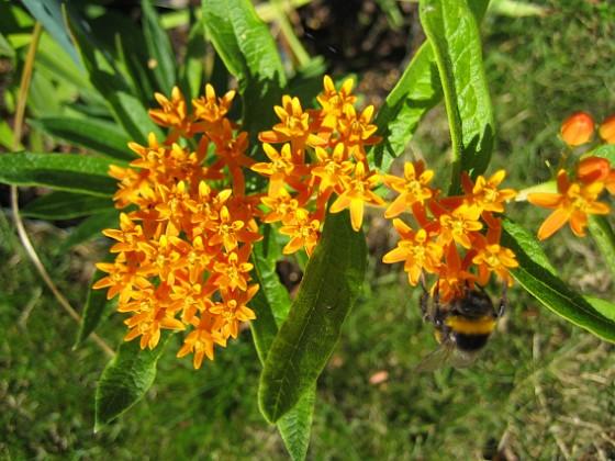 Orange Sidenört  Favs 2006-08-05 Bild 008 Granudden Färjestaden Öland