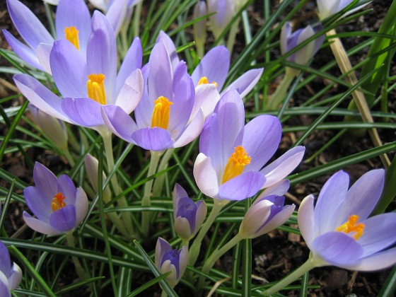 Snökrokus &nbsp Favs 2007-03-11 Bild 004 Granudden Färjestaden Öland