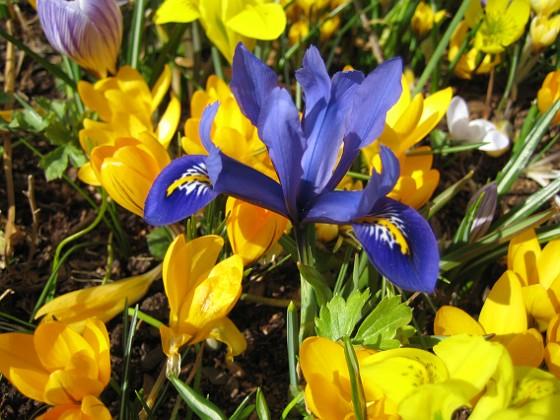 Krokus och en Iris &nbsp Favs 2007-03-17 Bild 019 Granudden Färjestaden Öland