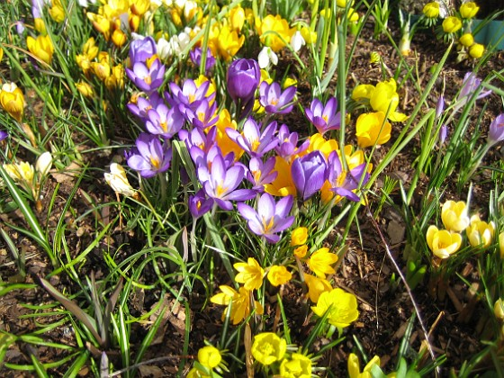 Krokus &nbsp Favs 2007-03-17 Bild 024 Granudden Färjestaden Öland
