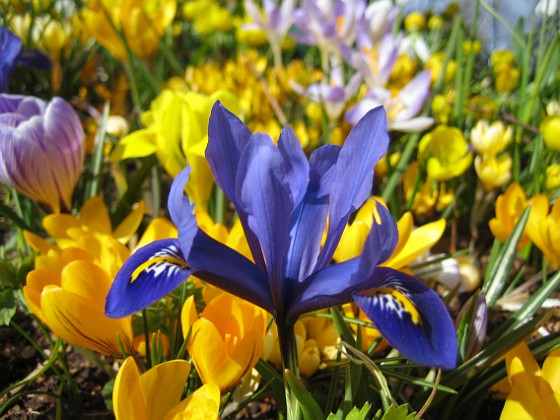 En Iris med en massa krokus i bakgrunden. &nbsp Favs 2007-03-17 Bild 036 Granudden Färjestaden Öland