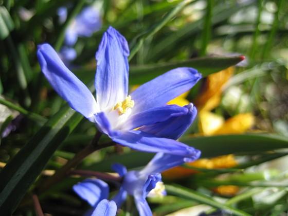 Vårstjärna  Favs 2007-04-06 Bild 018 Granudden Färjestaden Öland