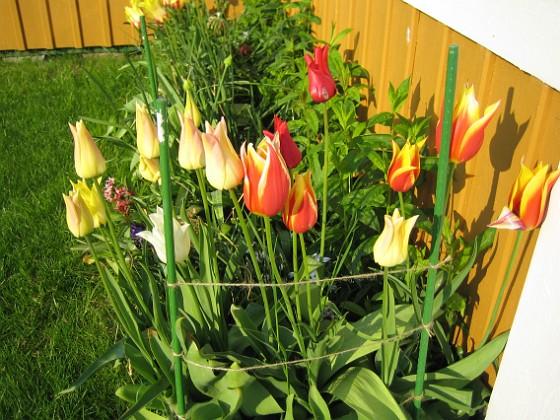 Liljeblommiga Tulpaner  Favs 2007-05-17 Bild 022 Granudden Färjestaden Öland