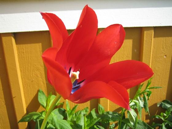 Liljeblommiga Tulpaner  Favs 2007-05-20 Bild 012 Granudden Färjestaden Öland