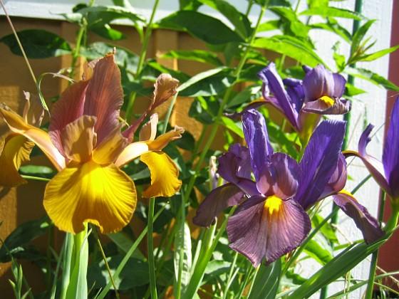 Iris  Favs 2007-06-20 Bild 003 Granudden Färjestaden Öland