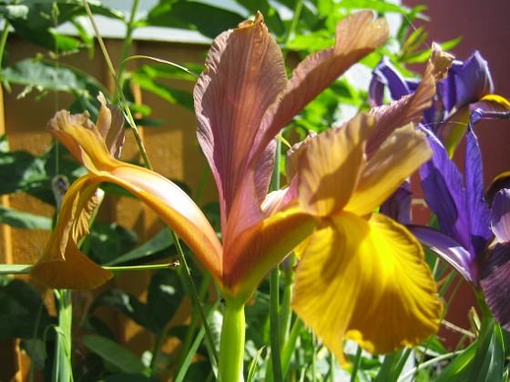 Iris  Favs 2007-06-20 Bild 004 Granudden Färjestaden Öland