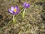 Krokus Denna lilla Krokus hade hamnat mitt i gräsmattan. Jag måste ha tappat några lökar förra året. Favs 2006-04-02 Bild- 004