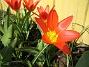 Tulpaner  Favs 2006-04-23 Bild 026