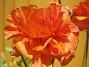 Ranunkler  Favs 2006-07-16 Bild 032