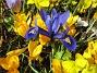 Krokus och en Iris  Favs 2007-03-17 Bild 019