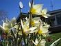Vildtulpaner  Favs 2007-04-14 Bild 015