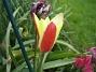 Vildtulpaner  Favs 2007-05-01 Bild 006