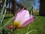 Vildtulpaner  Favs 2007-05-05 Bild 013
