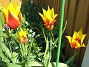 Liljeblommiga Tulpaner  Favs 2007-05-05 Bild 019