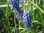 Pärlhyacint  Favs 2007-05-05 Bild 042