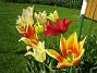 Liljeblommiga Tulpaner  Favs 2007-05-20 Bild 026