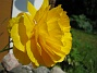 Ranunkel  Favs 2007-05-27 Bild 038