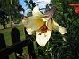 Trumpetlilja. 2011-07-24 IMG_0036