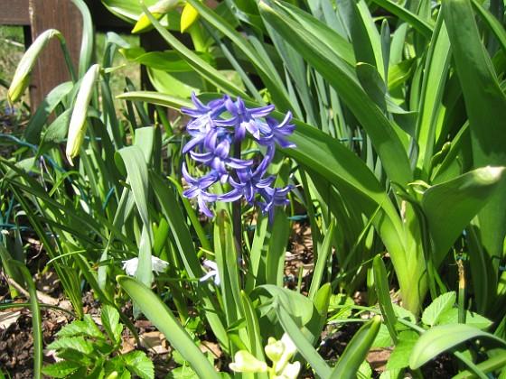 Hyacint I år har jag bara ett fåtal Hyacinter&nbsp 2013-04-28 IMG_0008 Granudden Färjestaden Öland