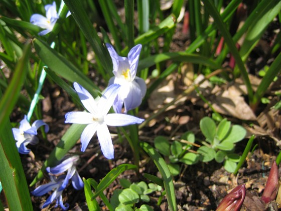 Vårstjärna &nbsp 2013-04-28 IMG_0013 Granudden Färjestaden Öland