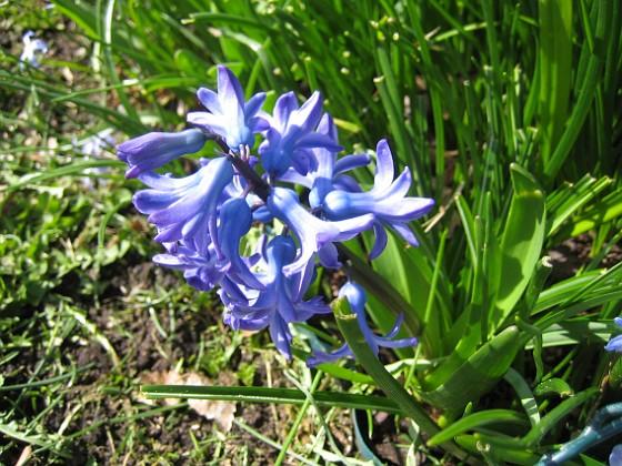 Hyacint &nbsp 2013-04-28 IMG_0018 Granudden Färjestaden Öland
