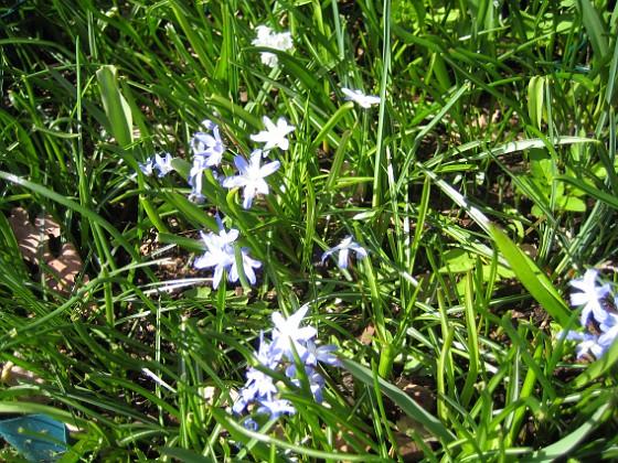 Vårstjärna &nbsp 2013-04-28 IMG_0027 Granudden Färjestaden Öland