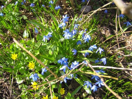 Vårstjärna och Gulsippa &nbsp 2013-04-28 IMG_0039 Granudden Färjestaden Öland