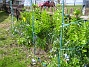 Kejsarkronor Kejsarkronorna förökar sig och växer sig större för varje år. 2013-04-28 IMG_0004