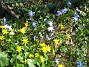 Vårstjärna och Gulsippa  2013-04-28 IMG_0042