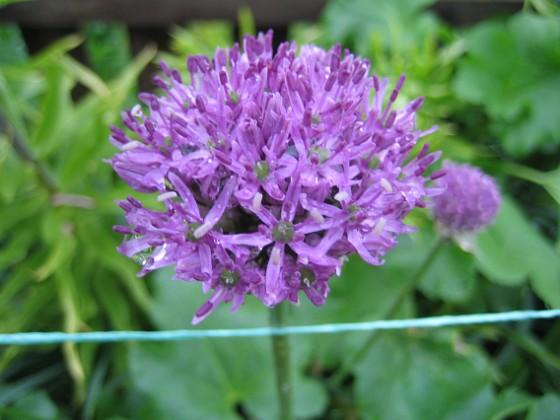 Allium 'Purple Sensation' &nbsp 2013-05-26 IMG_0005 Granudden Färjestaden Öland