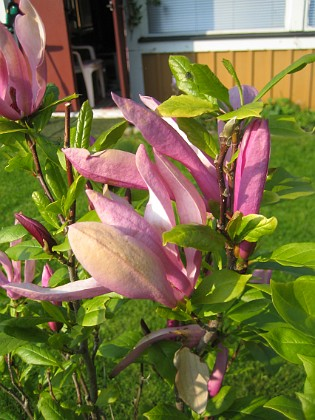 Magnolia &nbsp 2013-06-02 IMG_0039 Granudden Färjestaden Öland
