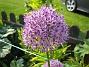Allium Purple Sensation  2013-06-02 IMG_0006