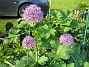 Allium Purple Sensation  2013-06-02 IMG_0010