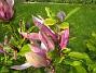 Magnolia  2013-06-02 IMG_0037
