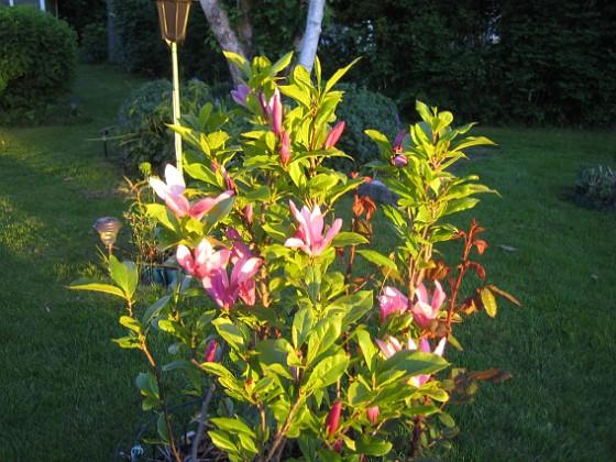 Magnolia &nbsp 2013-06-06 IMG_0002 Granudden Färjestaden Öland