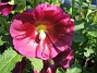 Stockros   Alcea Rosea Ficifolia   2013-07-12 IMG_0009