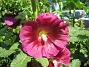 Stockros   Alcea Rosea Ficifolia   2013-07-12 IMG_0042