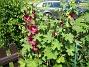 Stockros   Alcea Rosea Ficifolia   2013-07-12 IMG_0052