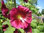 Stockros   Alcea Rosea Ficifolia   2013-07-12 IMG_0054