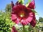 Stockros   Alcea Rosea Ficifolia   2013-07-12 IMG_0055