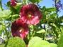 Stockros   Alcea Rosea Ficifolia   2013-07-12 IMG_0059